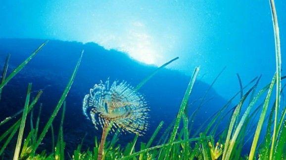 La Posidonia de Ibiza, un beneficioso desconocido